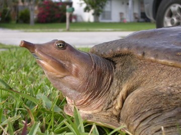 Spiny-Softshell-Turtle-Photos
