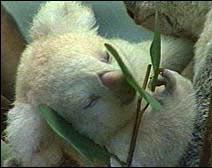 albino-koala